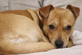 pies, suczka, słodkie oczka, wierny pies, miłość , oklapnięte uszy, biszkoptowy pies, rudy piesek, mały pies, ciekawość, zwierzęta domowe,  piękne oczy