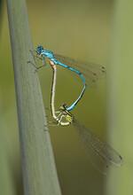 Damselfly Mating Wheel Blue Green Macro