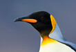 Koningspinguïn, King Penguin, Aptenodytes patagonicus