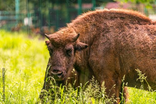 Vászonkép european bison in Prioksko-Terrasny Nature Biosphere Reserve