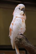 Closeup Beautiful Moluccan Cockatoo (Cacatua Moluccensis). Pink Salmon-crested Parrot, Soft Focus