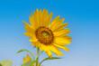 canvas print picture - Sonnenblume (Helianthus annuus)
