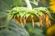 canvas print picture - Sonnenblumenfeld (Helianthus annuus), verblüht