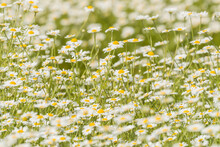Field Of Daisies. Focus To  Centre Of Image With Narrow Depth Of Field.