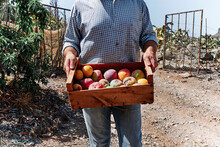 Farmer Carrying Harvested Mangoes In Crate While Standing In Farm