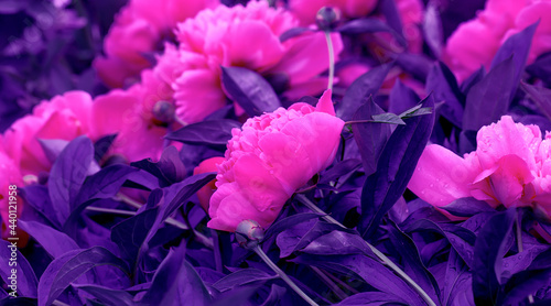 Pink peonies. Beautiful fresh pion flowers on bright multicolored floral background.