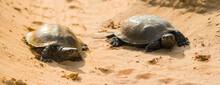 Closeup Pair Of Turtles In Sandy Desert