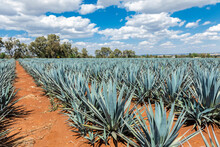 Tequila Agave  Landscape