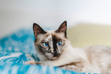 Portrait Of Domestic Cat With Blue Eyes