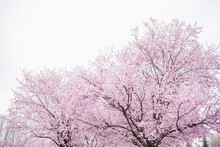 Pink Almond Tree Blossoming In Springtime