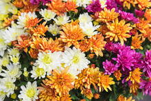 Full Frame Of Bouquet Of Blooming Chrysanthemums