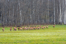 A Herd Of Young Deer Runs In The Meadow Along The Edge Of The Forest