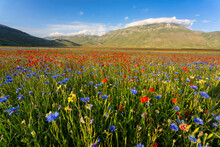 Red And Blue Wildflowers Blooming In Piano Grande Plateau