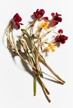 Studio Shot Of Wilting Tulips And Daffodils