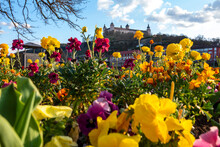 Germany, Wurzburg, Blooming Flowers In City With Marienberg Fortress, Kappele And Old Main Bridge In Background