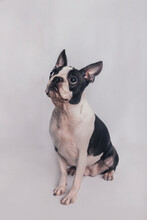 Boston Terrier Dog Sitting In Front Of White Background