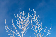 Barren Tree Branches Covered In Hoar Frost Against Blue Sky