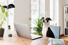 Jack Russell Terrier Sitting At Desk In Home Office