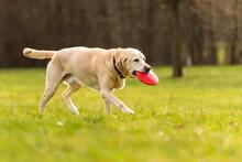 Labrador Carrying Plastic Disk