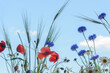 Wildflowers on a background of blue sky. Poppies, cornflowers, chamomile and spikelets of rye