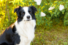Outdoor Portrait Of Cute Smiling Puppy Border Collie Sitting On Park Background. Little Dog With Funny Face In Sunny Summer Day Outdoors. Pet Care And Funny Animals Life Concept.