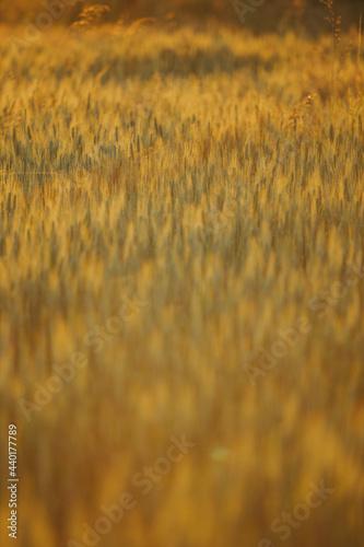 Fotografija Beautiful wallpaper of the golden barley field