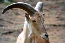 Domestic Goat (Capra Aegagrus Hircus) Face