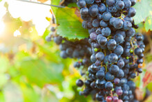 Red Wine Grapes On Vine Ready For Harvest