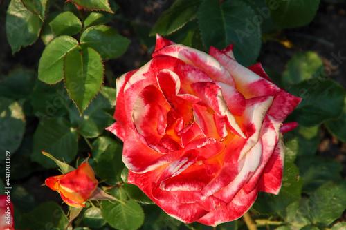 Obraz na plátně Rose garden Guldemondplantsoen in Boskoop with rose variety Pullman Orient Expre
