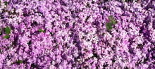 Many Small Pink Rock Soapwort Flowers In The Sun