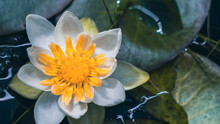 A White Water Lily In A Pond