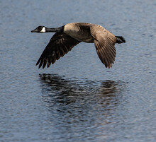 Selective Focus Shot Of A Canada Goose Flying Low Over A Lake With Its Hazy Reflection Below It