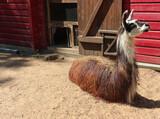Fototapeta Zwierzęta - lama, zoo, stojące uszy, zagroda, futro, relax, odpoczynek, zwierzę w zagrodzie ,