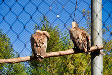 Griffon Vultures (Gyps Fulvus) On Perch In The Cage