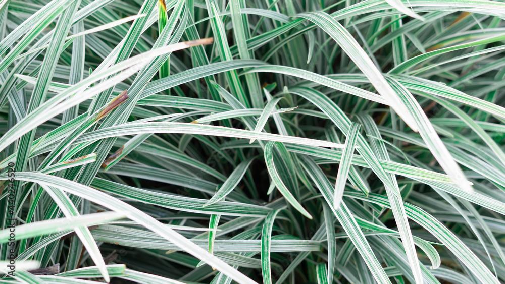 Fotografie, Obraz Beautiful sedges are suitable for ornamental plants at home
