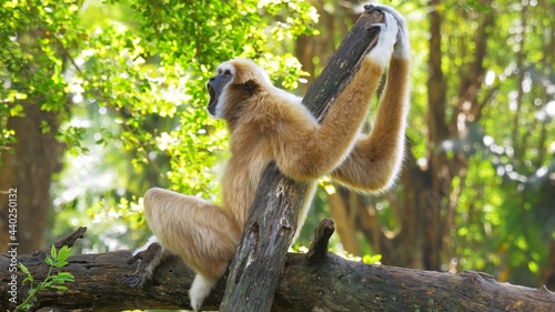 Fotografiet Brown gibbon primate on the tree branch yawning