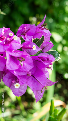 Foto Bunch of paper flowers or Bougainvillaea blooming on a tree with a bokeh backgro