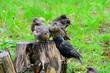 Leinwandbild Motiv Junge Stare warten auf die Fütterung