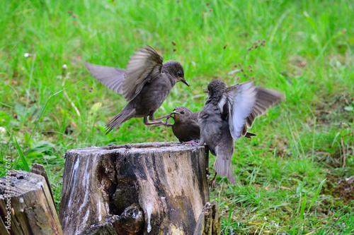 Fototapeta premium Junge Stare warten auf die Fütterung