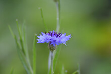 A Single Cornflower Covered With Morning Dew.