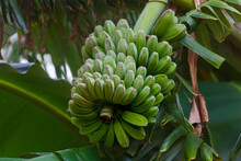 A Fresh Bunch Of Green Bananas Grows On A Tree.