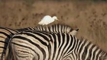 White Heron Walks Across Back Of Grazing Zebra At Golden Hour