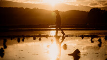 Woman Farmer Walking Through Rice Field At Sunset. Concept Of Young Woman Farmers .