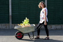 Woman Pushing A Wheelbarrow With A Container Grown Crop Of Spring Early Potatoes.