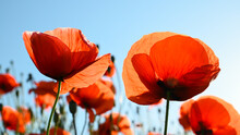 Blossom Red Poppy Field For Blue Sky In Summer.