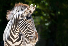 Head Of Zebra