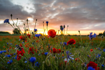 Zachód słońca na polach makowych