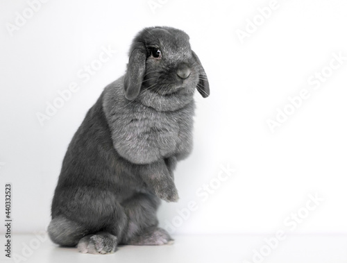 Canvastavla A cute gray Lop rabbit sitting up on its hind legs