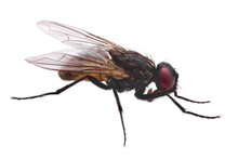 Regular Fly In High Resolution With No Background