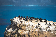 Brandt's Cormorants Nesting And Feeding On Offshore Rocks